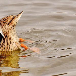 duck in the river near apartment in wilmington de